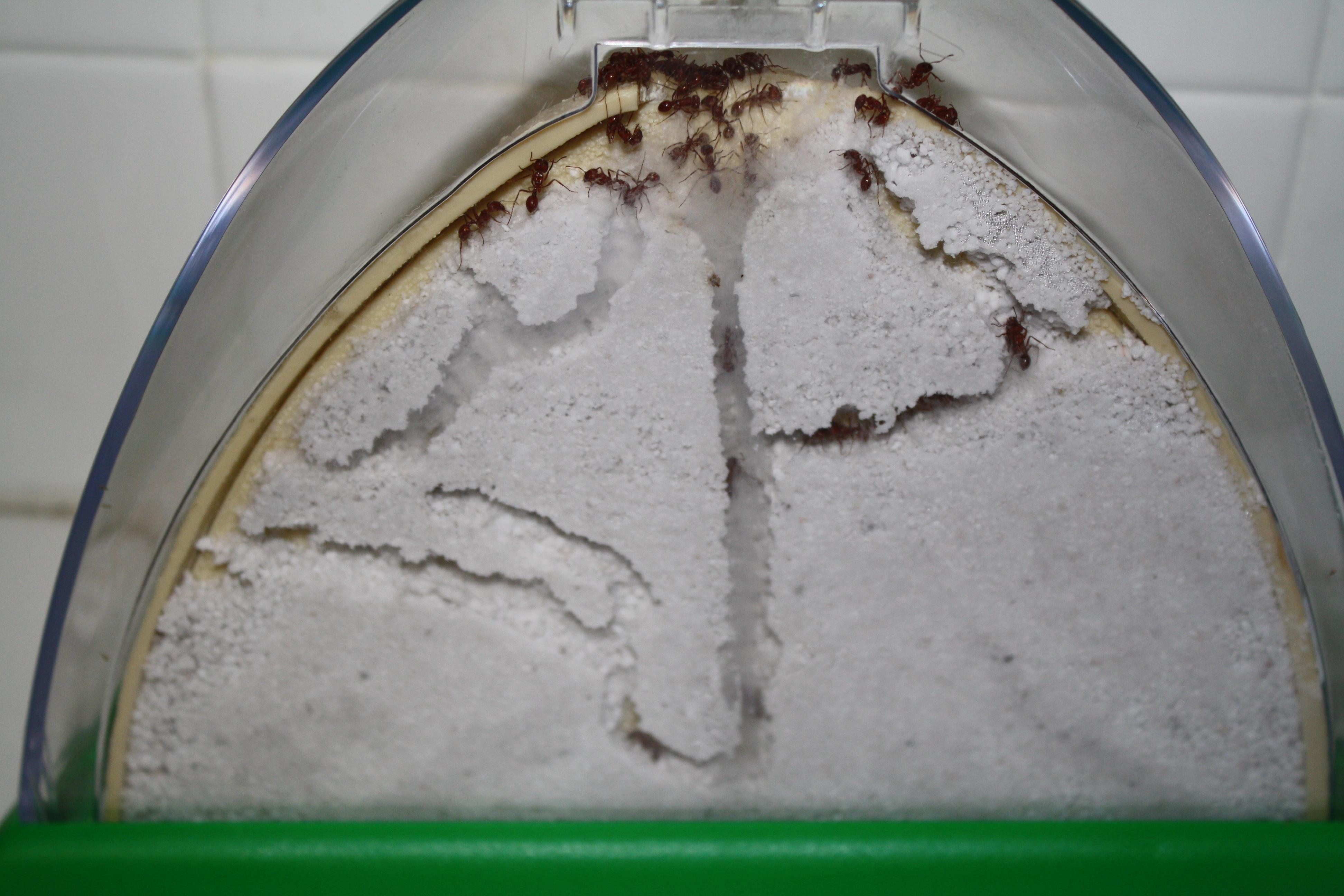 Муравьиная ферма с муравьями. Как сделать муравьиную ферму своими руками? 20