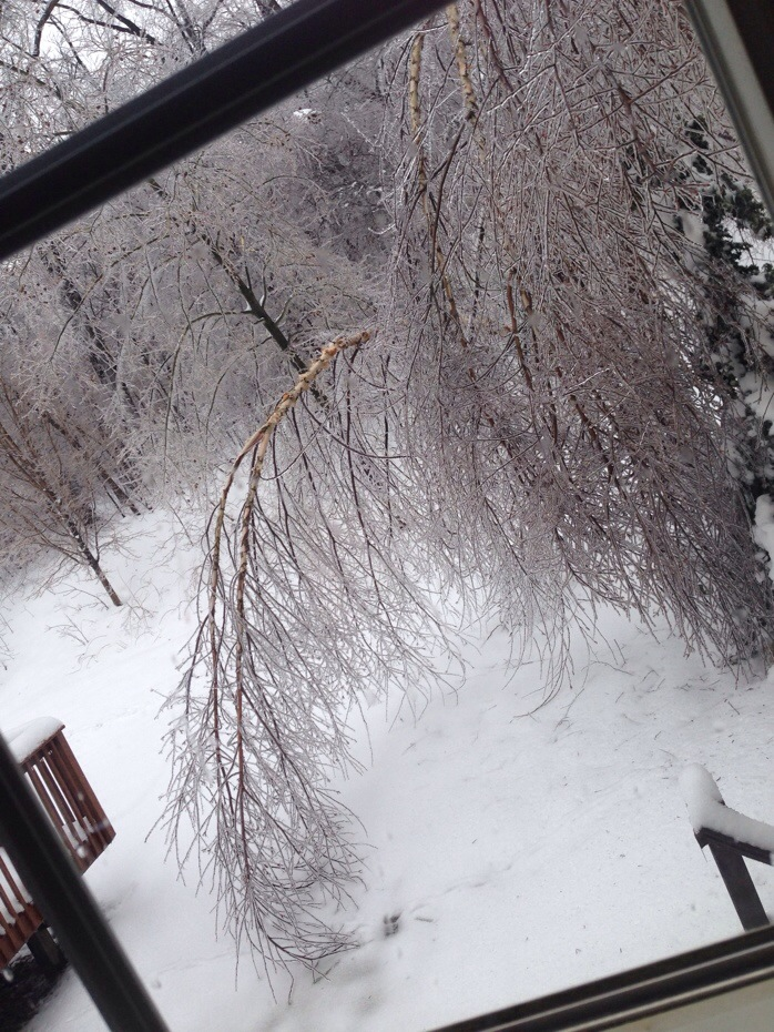 Our white birch tree in our backyard which has now broken in half thanks to the ice storm.